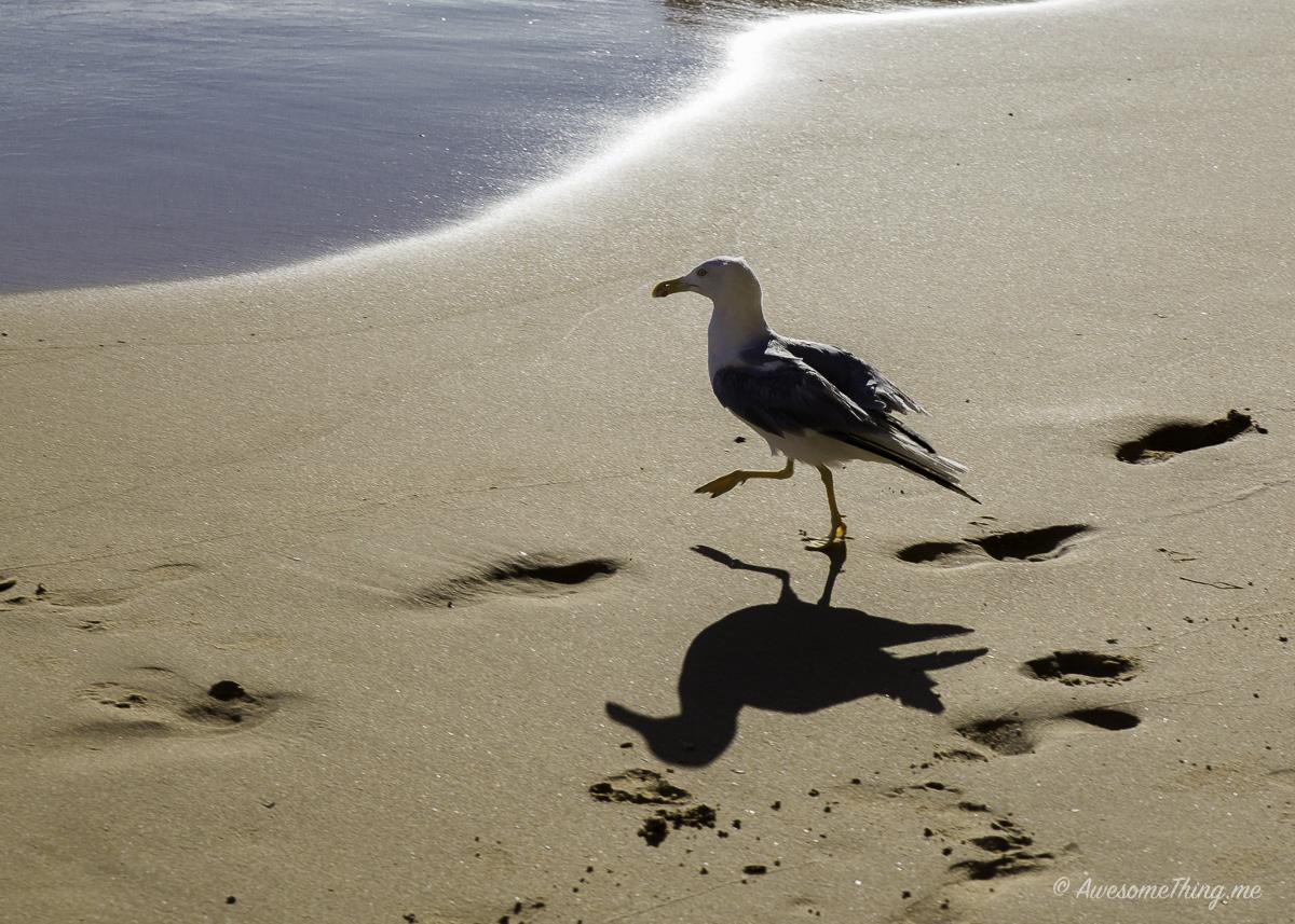 Чайка в Альгарве