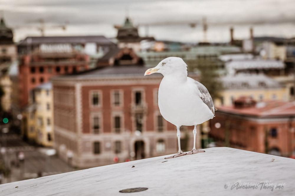 Чайка в Осло